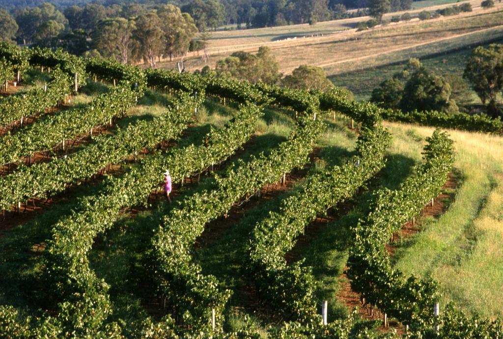 cis vineyard1