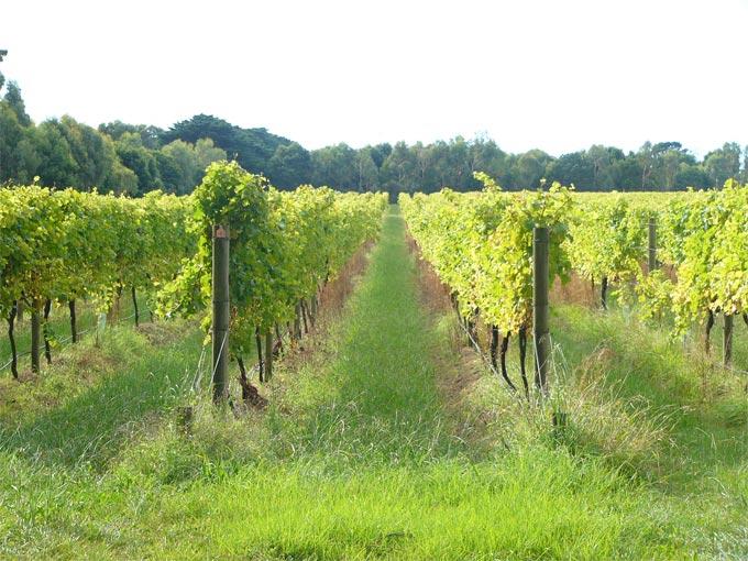 cis vineyard2
