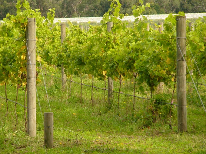 cis vineyard3